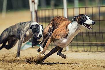 Hundebellen abgewöhnen Rasse