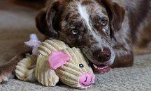 Hund gibt sein Spielzeug nicht her