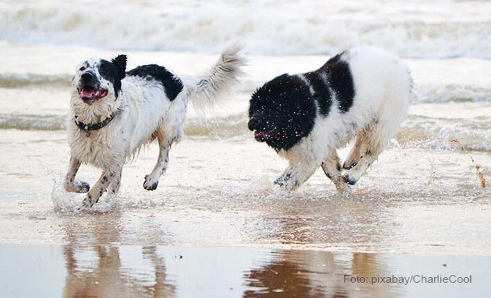 Aktivitäten mit Neufundländer Hunden